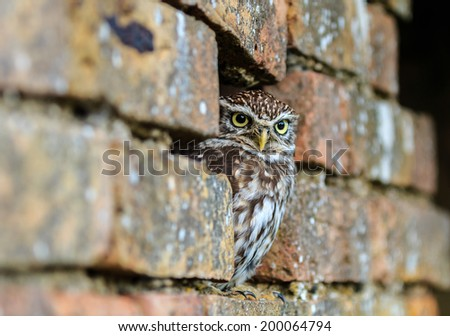 Little Owl hiding in a hole in a brick wall - stock photo