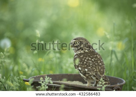 Little owl in a metal bucket - steenuil - athene noctua
