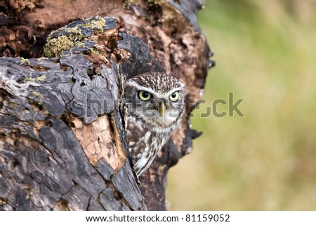 Little Owl in its natural habitat, peering out from its nest - stock photo