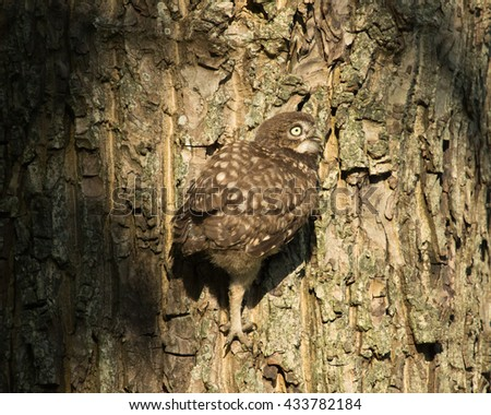Little Owl  juvenile - Athene noctua - Steenuil juveniel - Steinkauz - stock photo