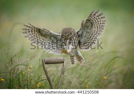 Little owl landing on a farmers shovel - stock photo