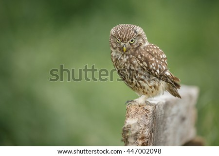 Little owl looking down from a wooden perch - stock photo