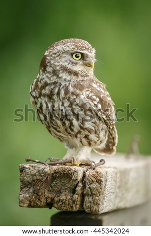 Little owl looking right - stock photo