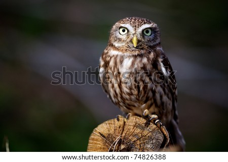 Little owl on a log - stock photo