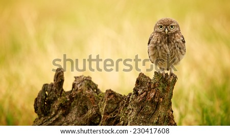 Little owl on a log looking at the camera - stock photo