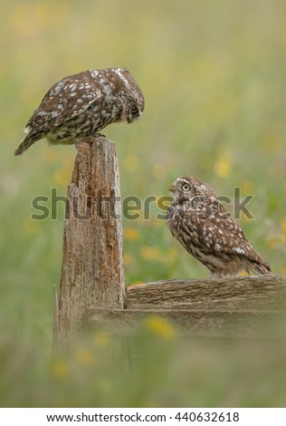 Little owl pair on rotten gate post - stock photo