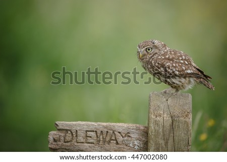 Little owl perched on a Bridleway sign in English countryside - stock photo