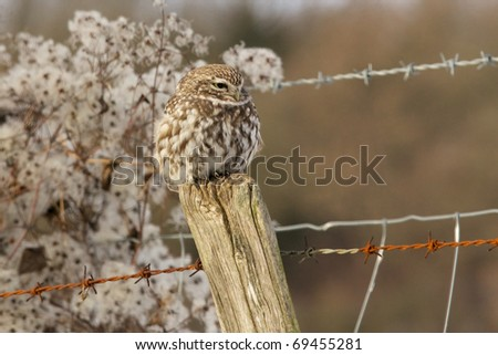 Little Owl perched on a fence post - stock photo