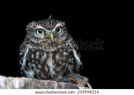 Little Owl perched on ledge against a dark background/Little Owl/Little Owl (Athene Noctua)   - stock photo