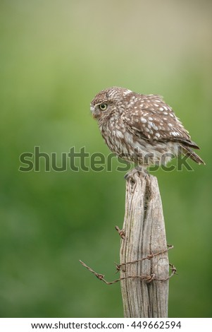 Little owl, portrait, on a fence post with rusty barbed-wire - stock photo