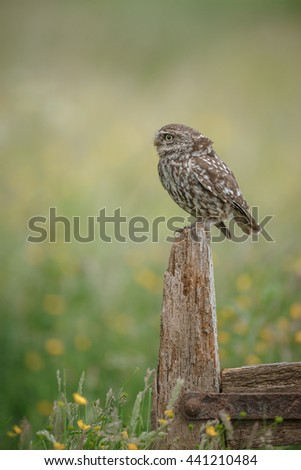 Little owl sitting on an old farm gate post - stock photo