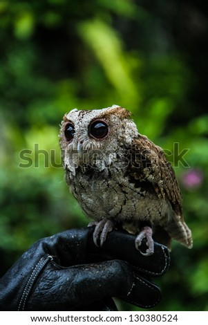 Little owl standing on a hand with glove - stock photo