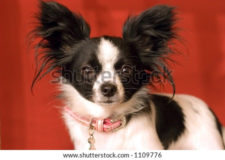 Little Papillon Dog with big Ears