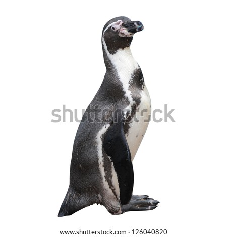 Little penguin isolated on white background - stock photo