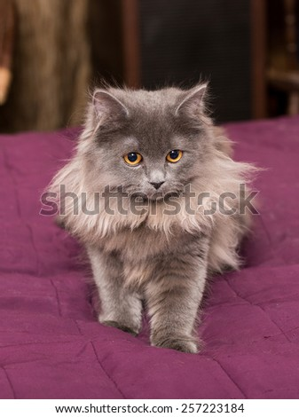 Little Persian kitten on the bed with a red blanket - stock photo