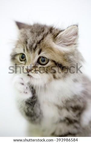 Little persian tabby kitten cleaning foot - stock photo
