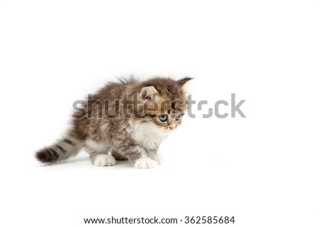 Little Persian tabby kitten walking on isolated background - stock photo