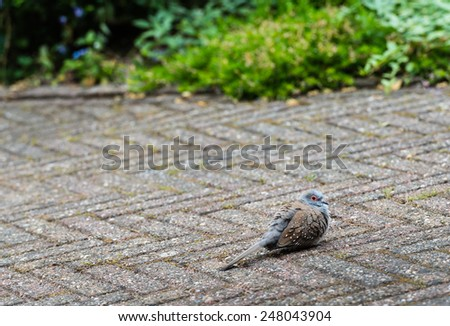 Little pigeon, just out of the nest, has landed on the garden terrace and can not fly away immediately. - stock photo