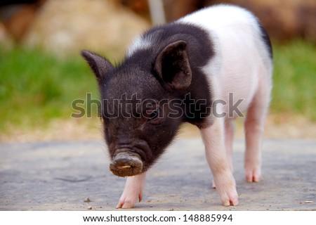 Little piggy - stock photo