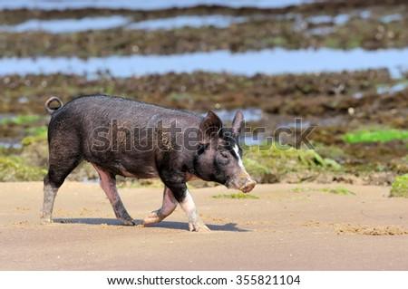Little piglet at ocean beach. Sri lanka island - stock photo