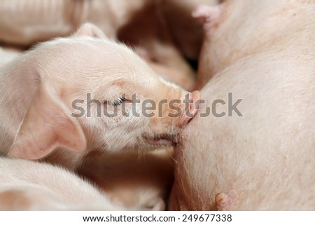 Little piglets suckling their mother - stock photo