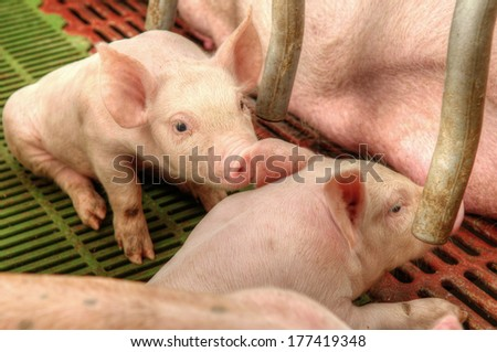 Little piglets suckling their mother at the pig factory - stock photo
