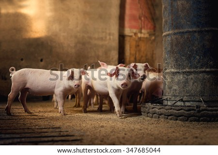 Little pigs at farm waiting for food. Shallow depth of field. - stock photo