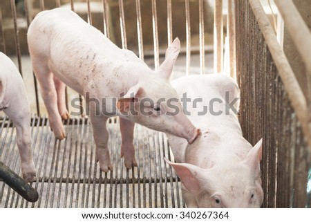 Little pigs playing happily