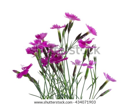 Little pink carnations, isolated on white