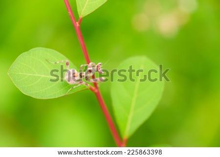 Little pink grasshopper on green leaf - stock photo
