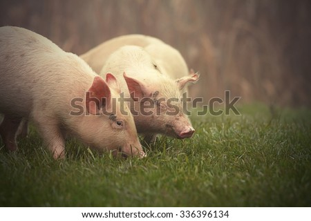 little pink pigs on meadow near the farm in  a foggy day - stock photo