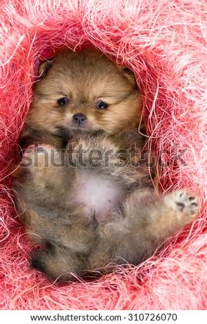 Little Pomeranian puppy in pink decorative nest - stock photo