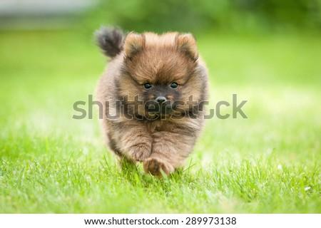 Little pomeranian spitz puppy running - stock photo