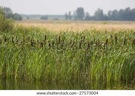 little pond with bulrush in countryside - stock photo