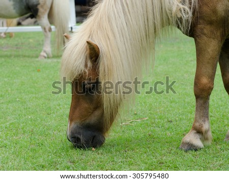 Little pony eating grass in the field.