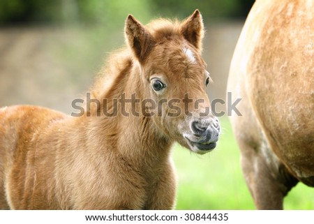 little pony filly in summer - stock photo