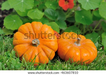 little pumpkins in the grass in a garden