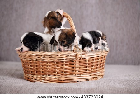 Little Puppies breed Papillon in a basket, close-up - stock photo
