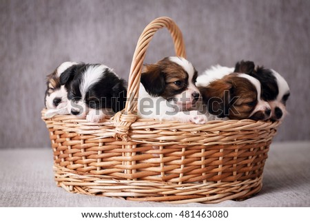 Little Puppies breed Papillon in a basket, close-up