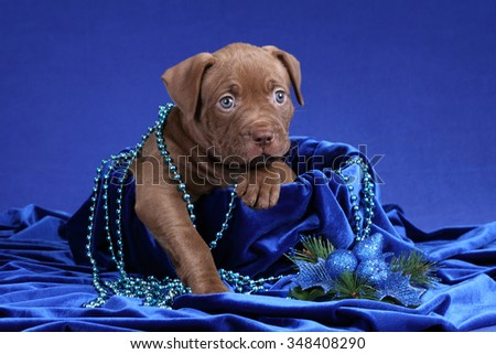 Little Puppy American Pit Bull Terrier with beads in a basket on a blue background - stock photo