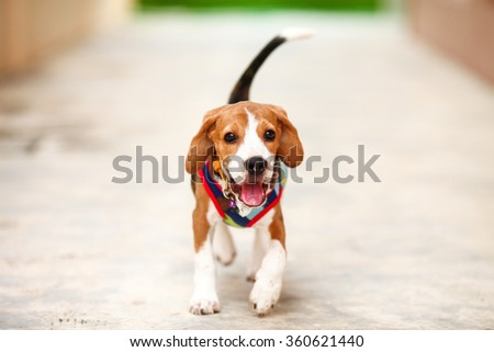 Little puppy beagle running with happiness face -zoom in - stock photo