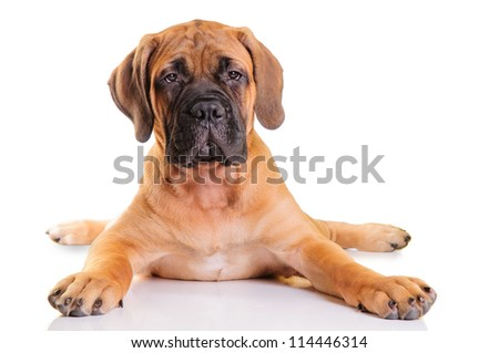 little puppy bullmastiff lies on a white background, isolated - stock photo