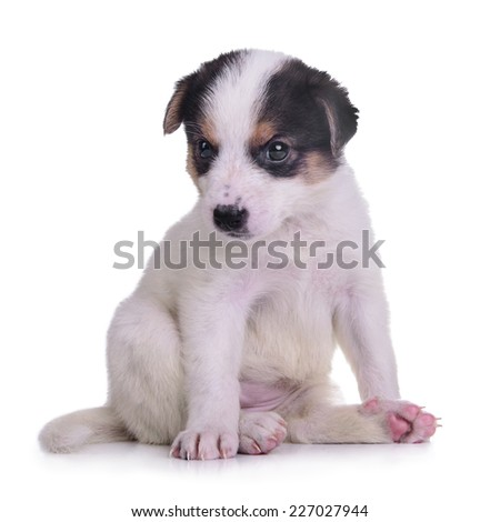 little puppy crossbreed. animal isolated on white background  - stock photo