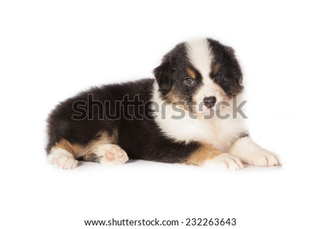 Little puppy dog Australian Shepherd sitting in studio whit a white background