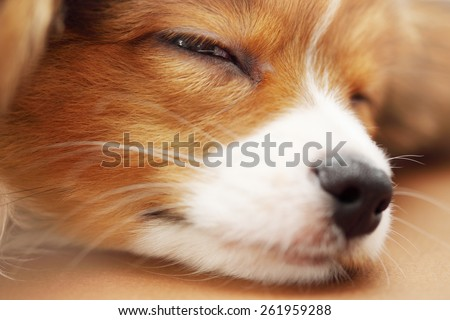 Little puppy dog breed papillon sleeping, close-up  - stock photo