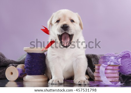 Little puppy Labrador retriever , portrait dog on a studio color background