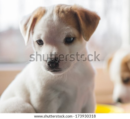 little puppy looking at the camera on a light background indoors