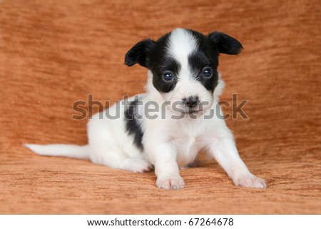 Little Puppy Papillon on a brown background - stock photo