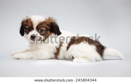 Little Puppy Papillon on a gray background - stock photo