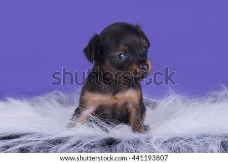 Little Puppy Russian toy terrier isolated on a colored background